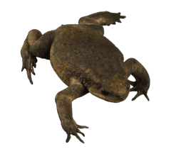 Large female cane toad 3D model